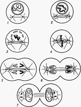 Схема митоза: 1,2- профаза; 3 - прометафаза; 4 - метафаза; 5 - анафаза; 6,7 - ранняя и поздняя телофазы.