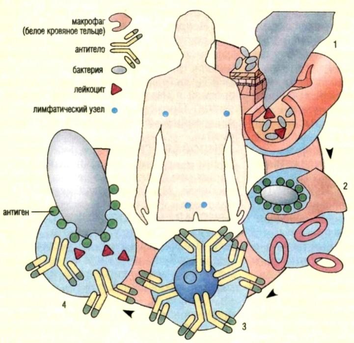 антитоксин диагностический дифтерийный сухой