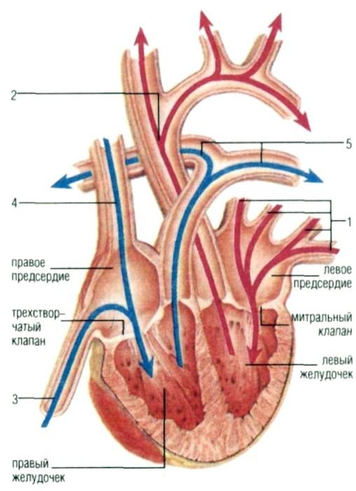 В сердце млекопитающих правая и левая часть совершенно раздельны.