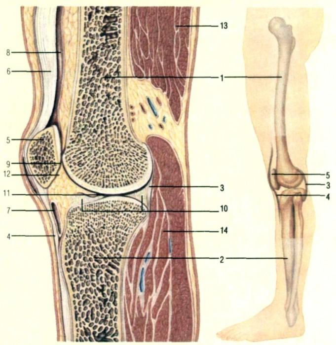 четырехглавой.  На колене бедренная (1) и большая берцовая (2) кости...