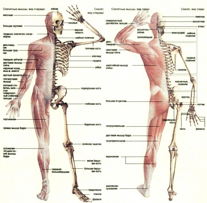 фото тело человека органы