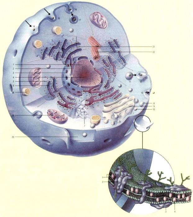 Тело Клетки фото