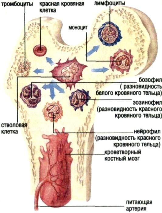 Мозг костный