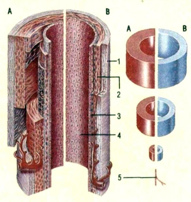 Сосуд Кровеносный фото