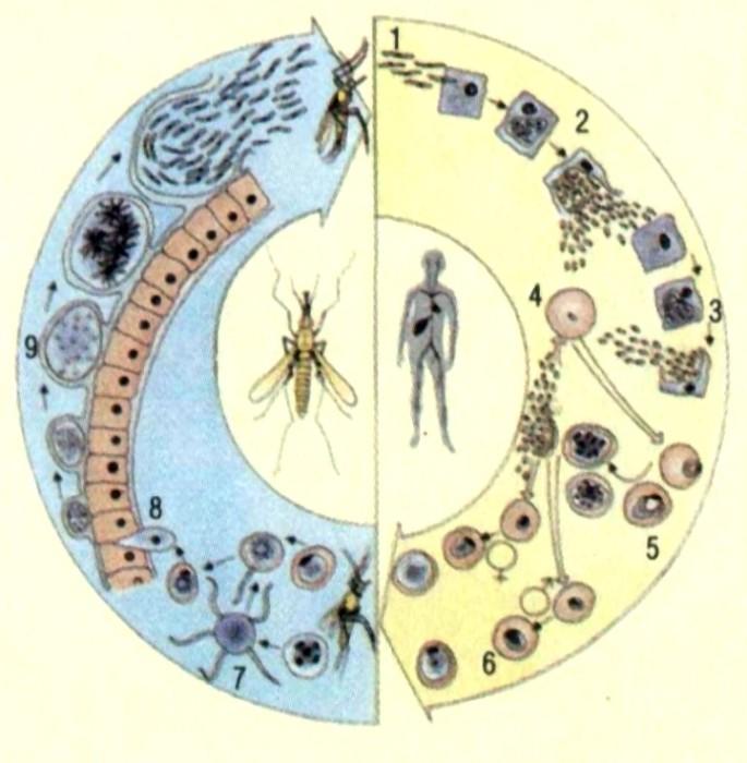 ...носит инфекционный характер, заразная и передается малярийным комаром.