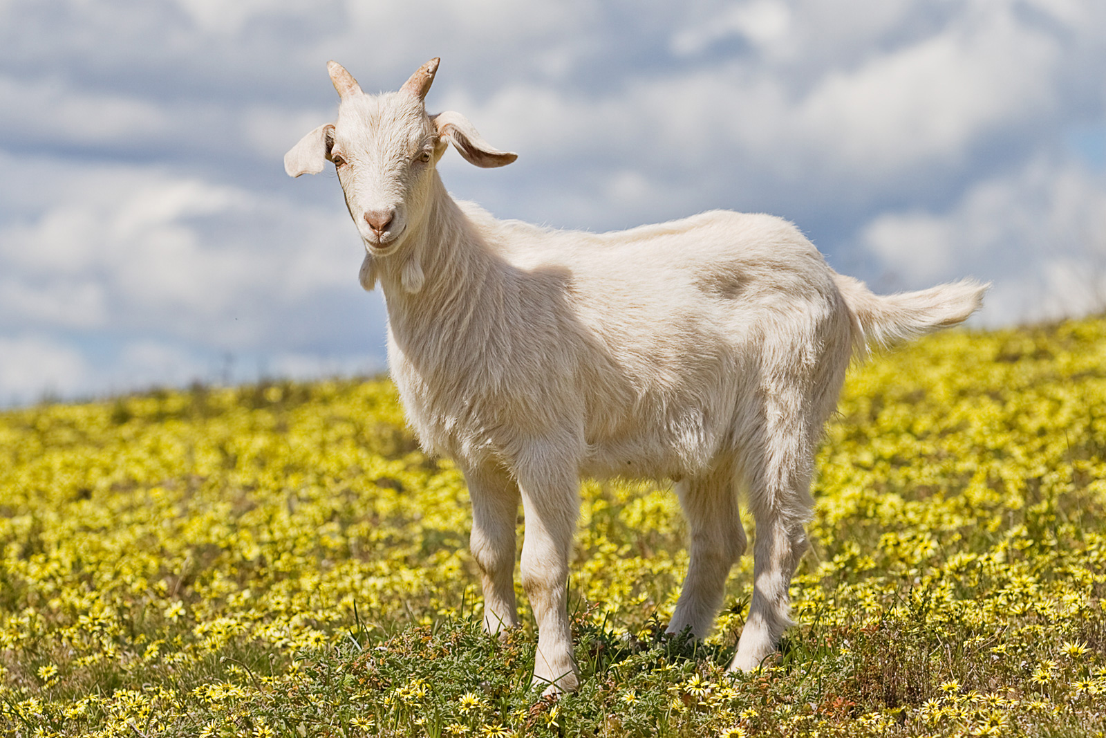 http://dic.academic.ru/pictures/wiki/files/100/domestic_goat_kid_in_capeweed.jpg