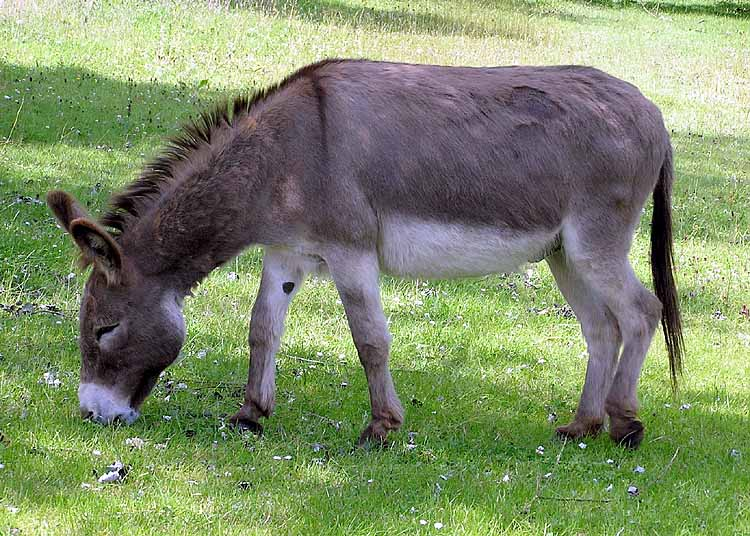 http://dic.academic.ru/pictures/wiki/files/100/donkey_1_arp_750px.jpg