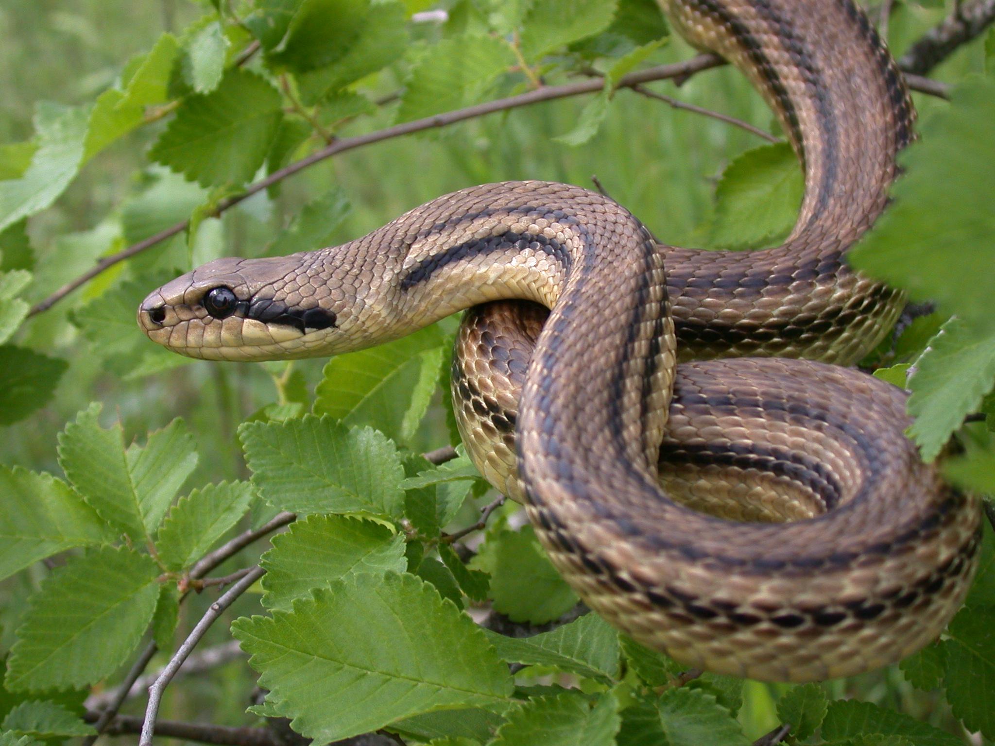 фото картинка змей полоз места для