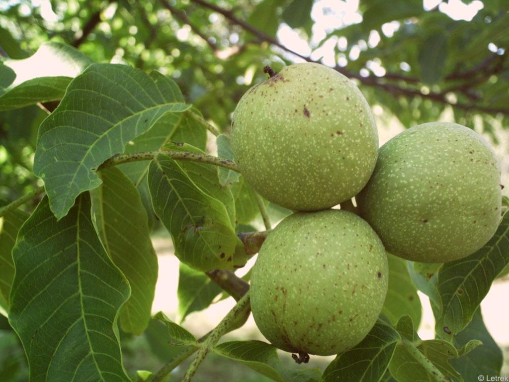 juglans regia Как растут настоящие орехи?