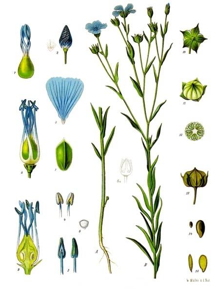 лен растение фото