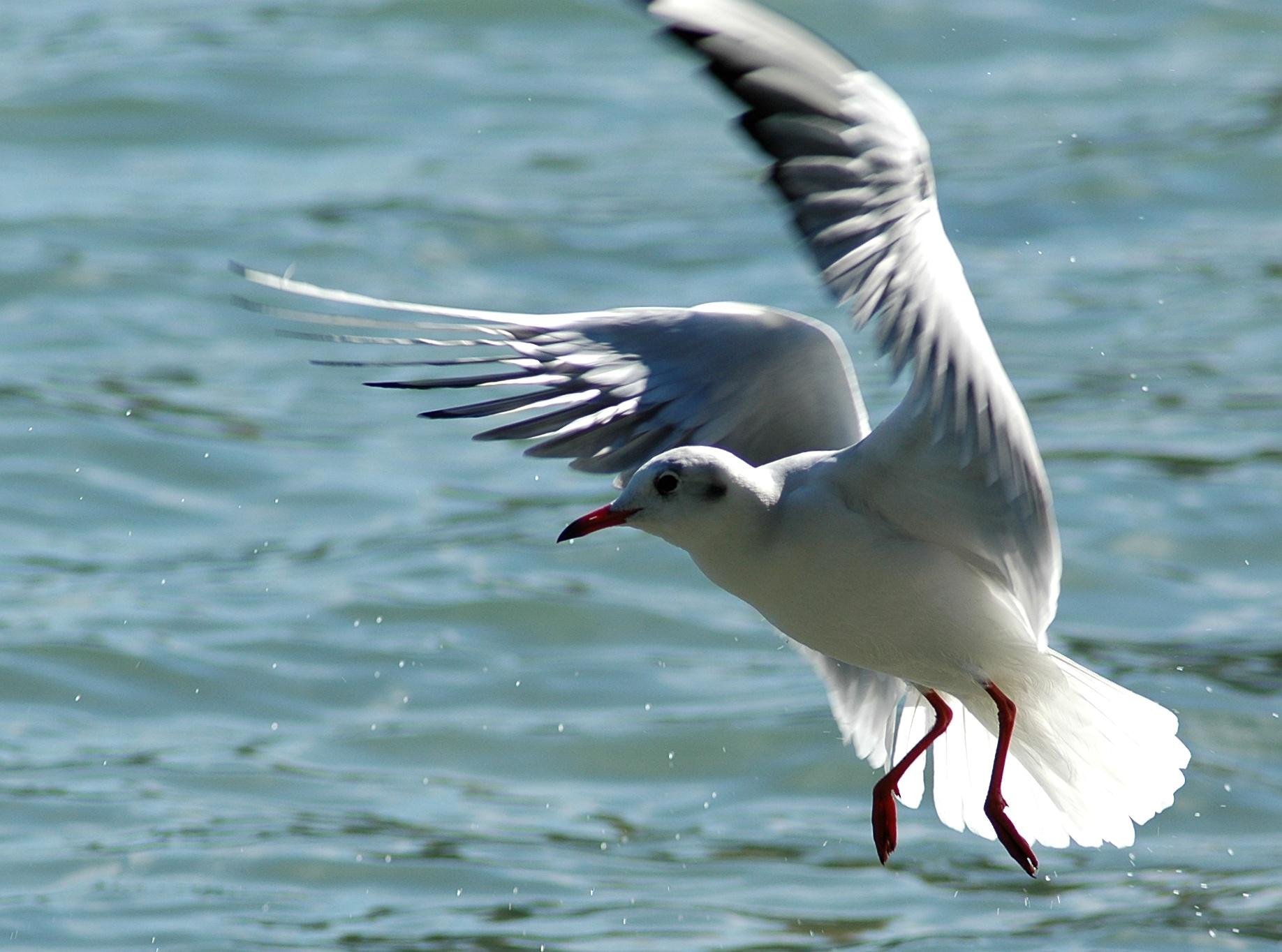 чайка птица фото
