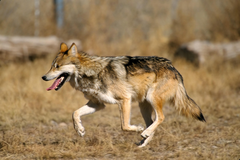 подвязки фотографии степного волка там происходят очень