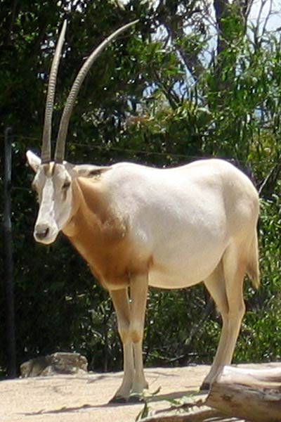 саблерогая антилопа