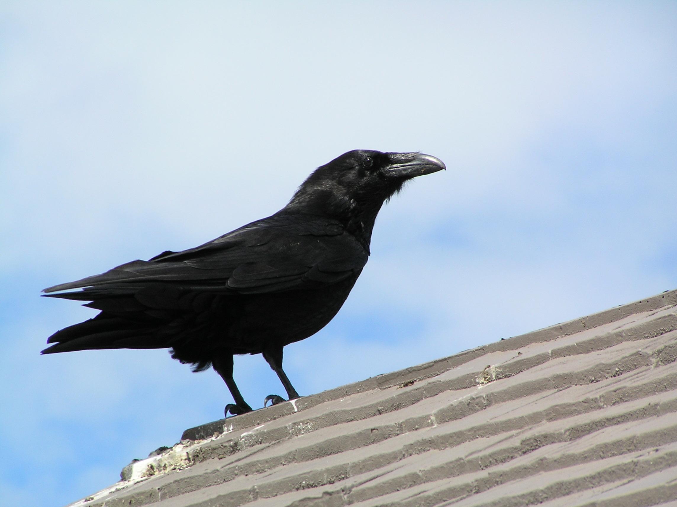 К чему ворона ходит по крыше