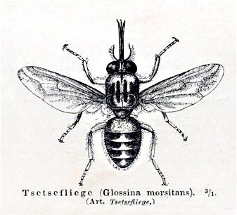 муха цеце википедия фото