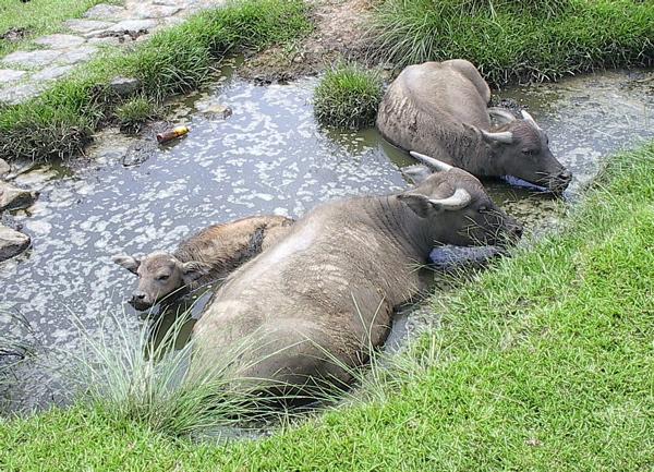 буйвол азиатский