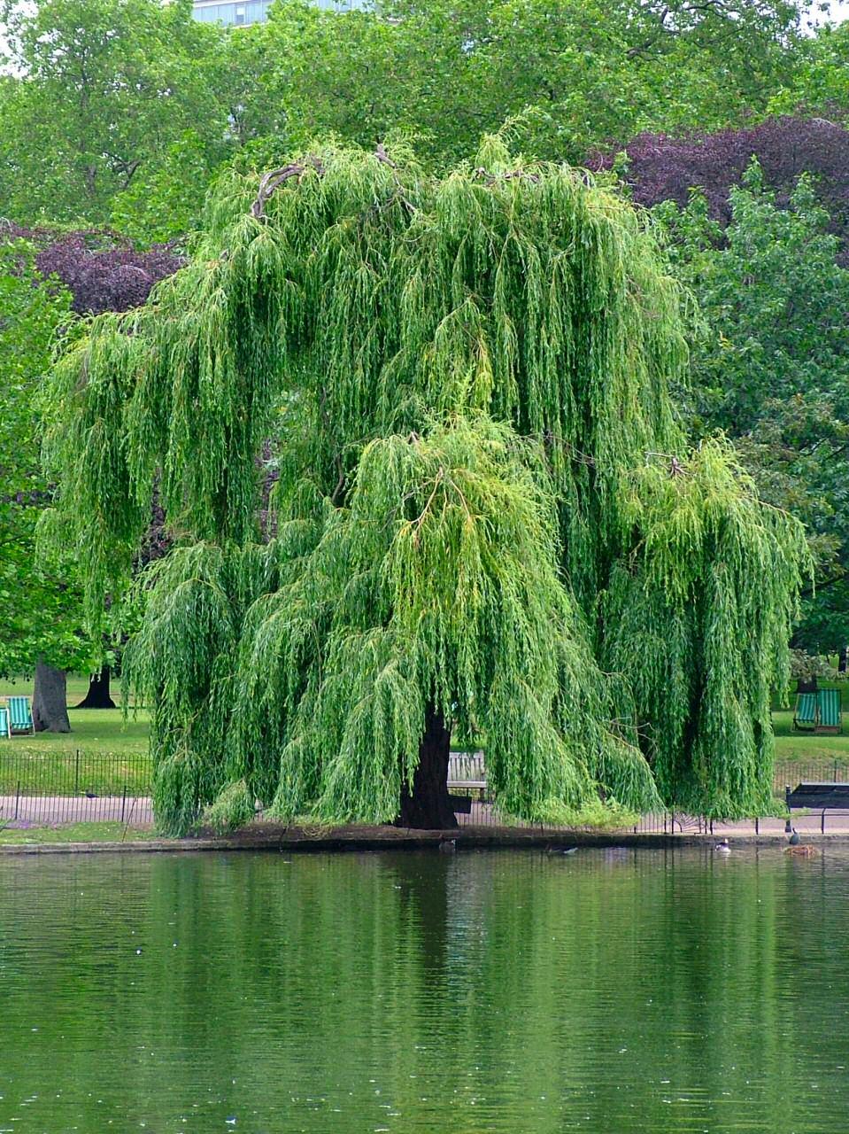 ива дерево фото посредники, платите никаких