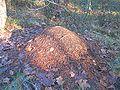 Рыжий муравей муравейник