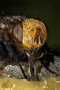 Тип ротового аппарата у пчелы