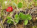 Trifolium incarnatum MdE.jpg