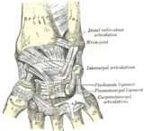 Лучезапястный сустав индивидуальная и возрастная изменчивость