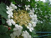 Adoxaceae.jpg