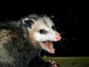 AwesomePossum-AmericanOpossum.jpg