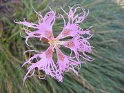 Dianthus superbus DSCF4706.JPG