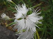 Dianthus superbus subsp longicalycinus3.jpg