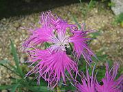 Dianthus superbus var speciosus2.jpg