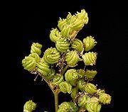 Filipendula ulmaria 12 ies.jpg