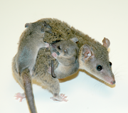 Opossum with young.png