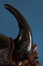Жук носорог фото описание доклад видео питание размножение информация сообщение