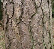 PinusSylvestrisBole.jpg