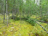 Srednesibirskoe ploskogorie les v rajone reki Tunguska 01.jpg