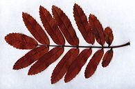 Sorbus aucuparia leaf fall colour.jpg