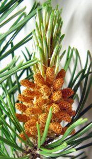 Що таке хвойні рослини