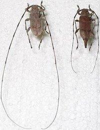 Как называется жук с длинными усами