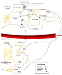 Функции соляной кислоты в желудке