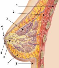 Как называется грудь у мужчин