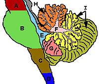 Мозжечок головного мозга человека, его функции, строение среднего мозга, патологии в неврологии, лечение