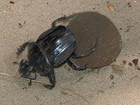 Где обитает жук скарабей