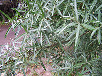 Hippophae rhamnoides a1.jpg