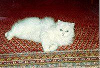 Persian (cat) silver.jpg