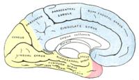 Медиальная поверхность левого полушария