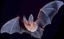Летучая мышь – фото, описание, виды, чем питается, где обитает