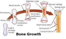 Bone growth.png