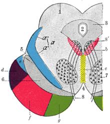 Анатомия: Внутреннее строение среднего мозга.