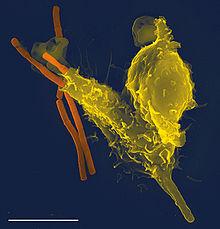 Характеристика клеток крови, Эритроциты (красные клетки крови), Лейкоциты (белые клетки крови), Тромбоциты (кровяные пластинки)