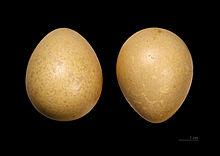 Обыкновенная цесарка - это... Что такое Обыкновенная цесарка?